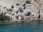 pingouins, ria deseado