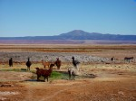 Lama---San-Pedro-de-Atacama.jpg